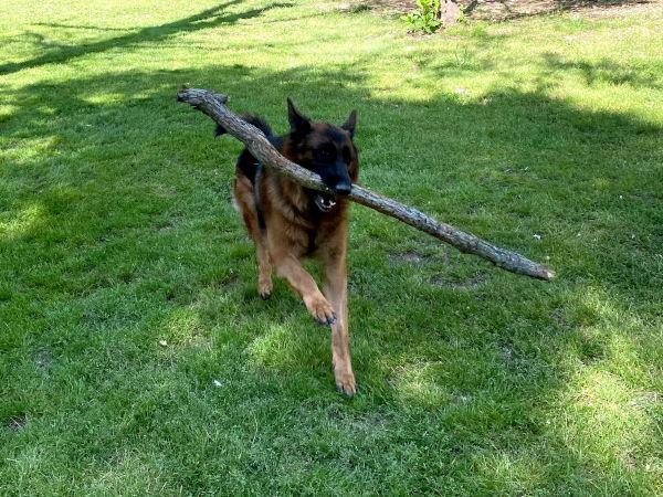 akc registered german shepherds