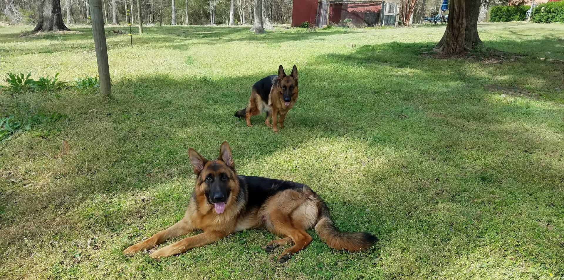 german shepherds 5